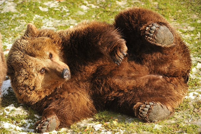 Bears don't just crawl.  They roll too.